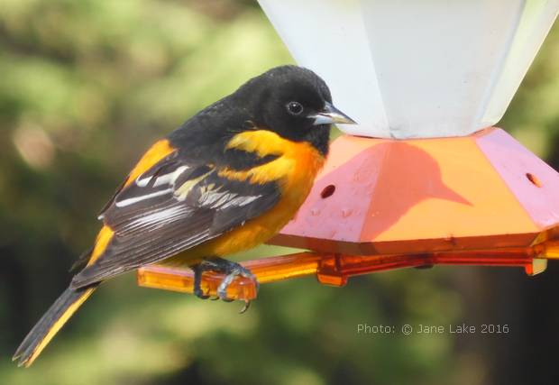 Baltimore Oriole on a feeder after the rain.