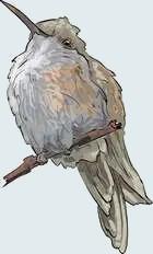 hummingbird female sketch