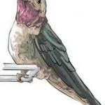 male hummingbird sketch