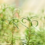 delicate rosemary leaves growing on plant