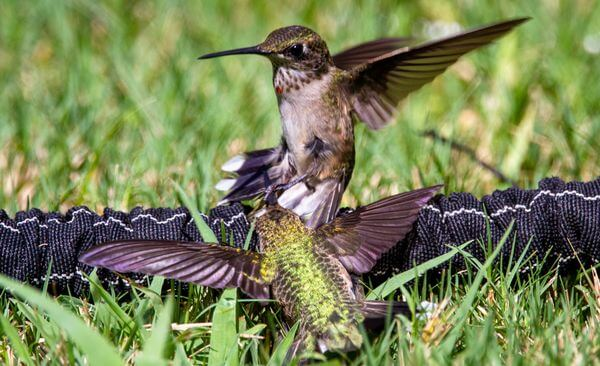juvenile hummingbirds fighting over territory