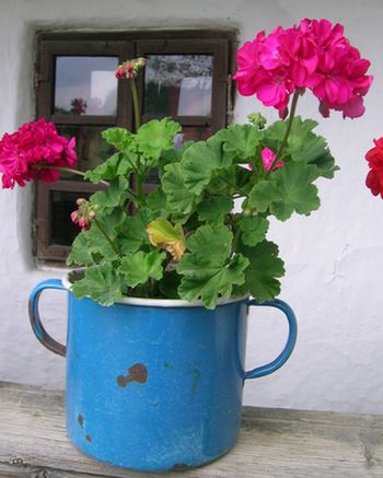 geraniums growing in a blue container