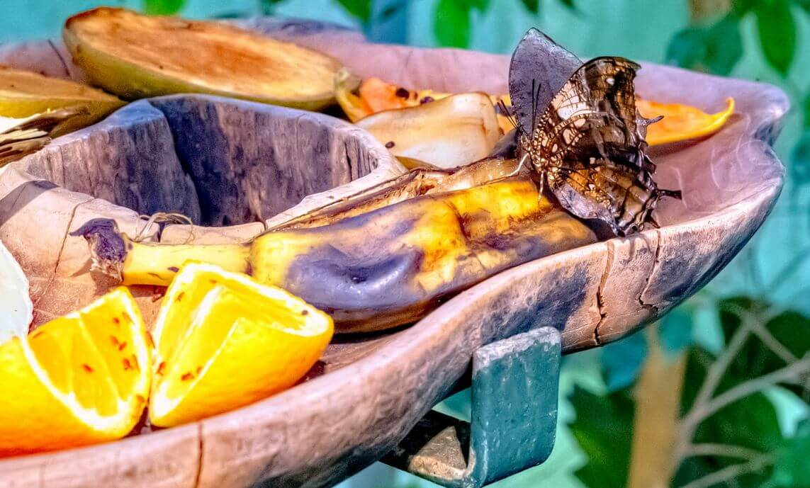 butterfly feeds on ripe banana and oranges