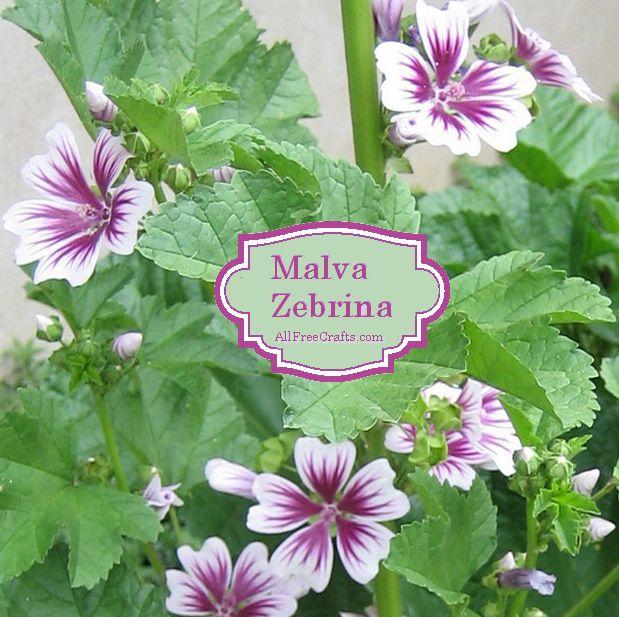 Malva Zebrina