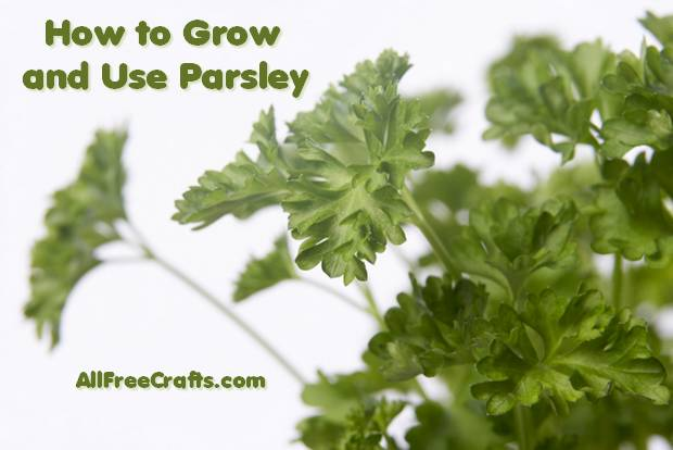 Grow and Use Parsley