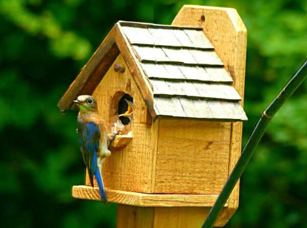 blue bird feeding baby bird in nest box