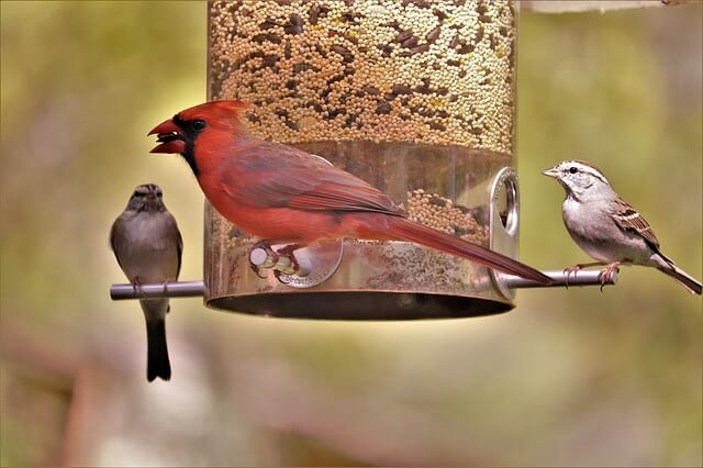 cardinal on bird feeder