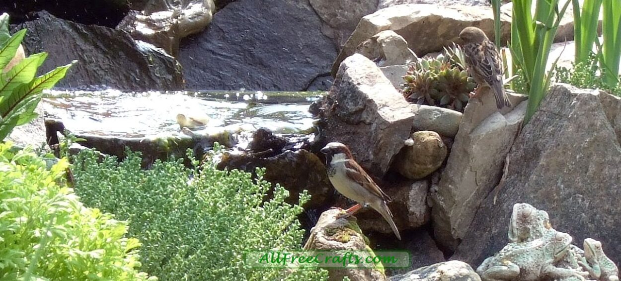 sparrows drinking in a backyard pond and waterfall