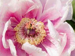 closeup of peony flower